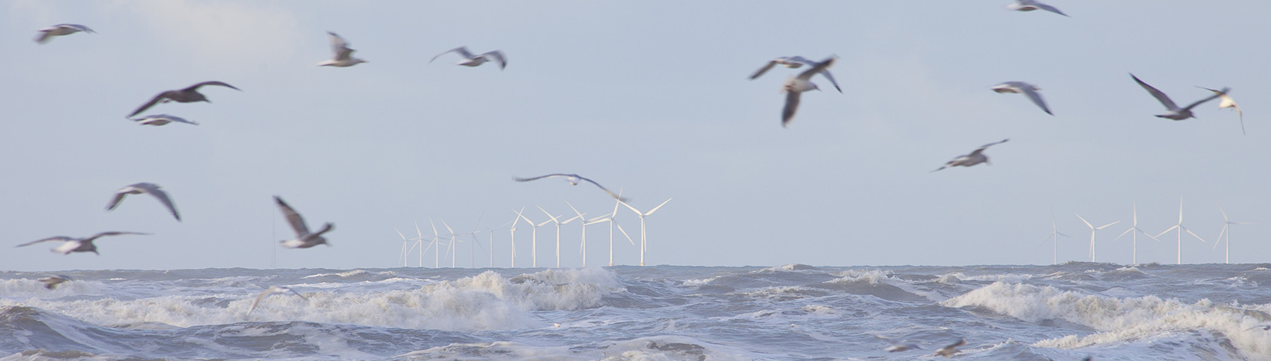 Birds and offshore wind farms